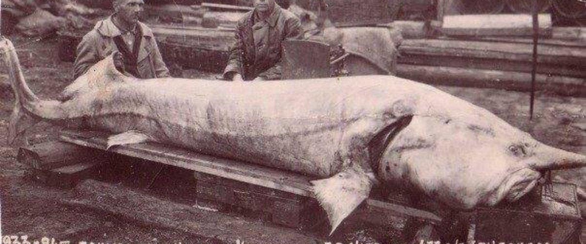 Рыба белуга цена в москве